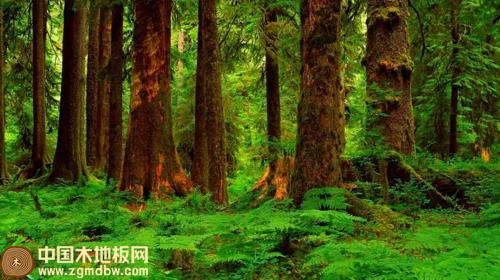 大自然地板:圆盘豆野生原木地板的艺术之旅